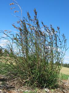 Themeda triandra / Kangaroo Grass