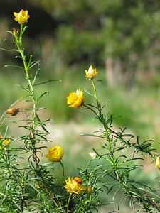 Bracteantha viscosa/ Sticky Everlasting   Erect perennial or annual herb (60cm)