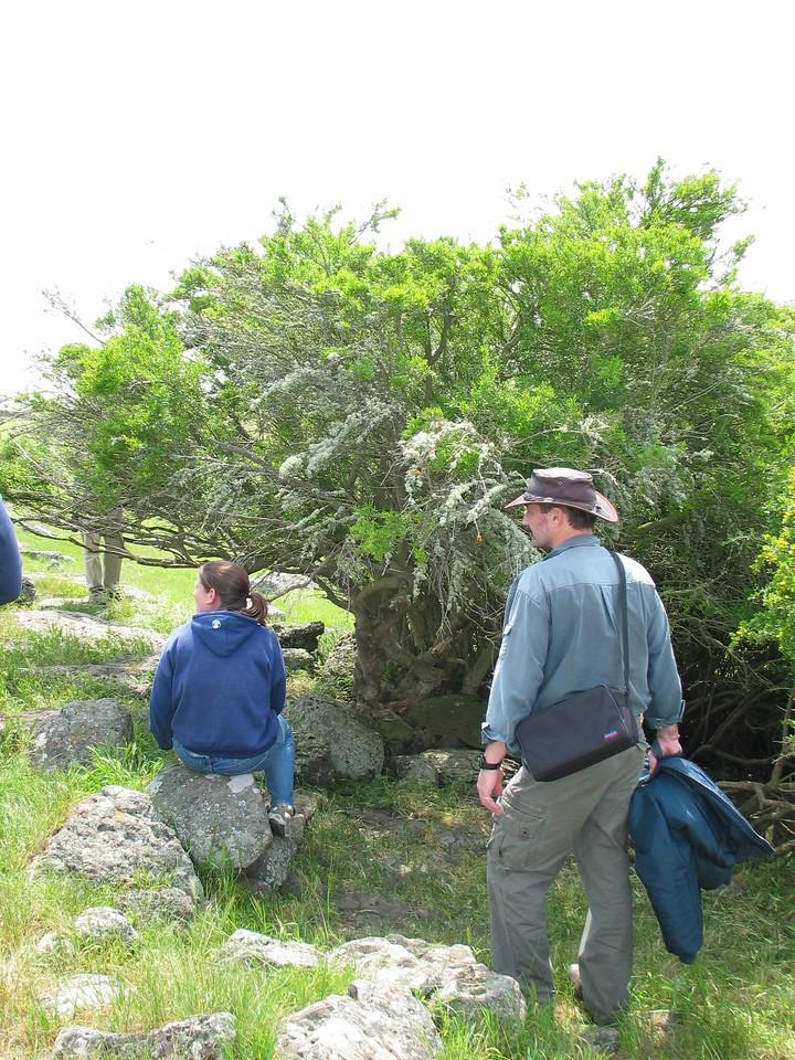 Hymenanthera dentata - Now Melycitis dentata (More pictures in M)