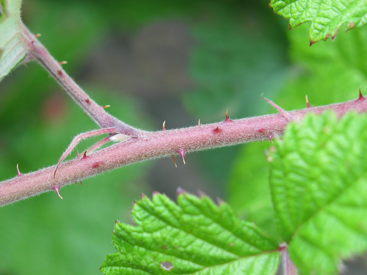 Rubus parvifolius / Native Raspberry / Small-leaf Bramble