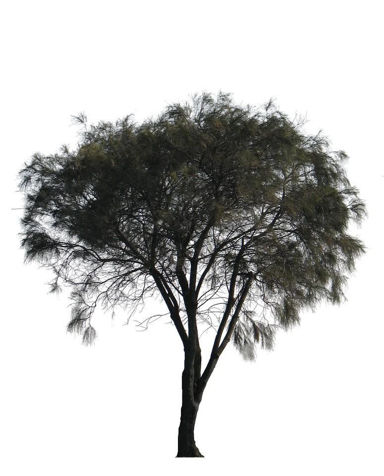 Allocasuarina verticillata - Form