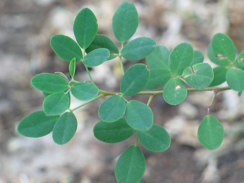 Goodia lotifolia / Golden Tip / Clover Tree