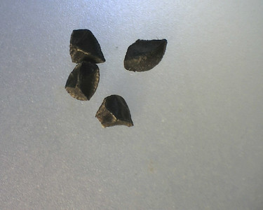 Bulbine bulbosa - Bulbine Lily