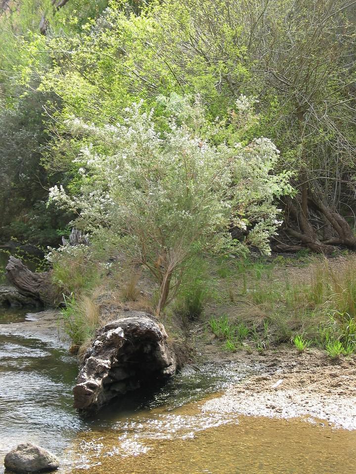 Leptospermum lanigerum / Woolly Tea-tree #