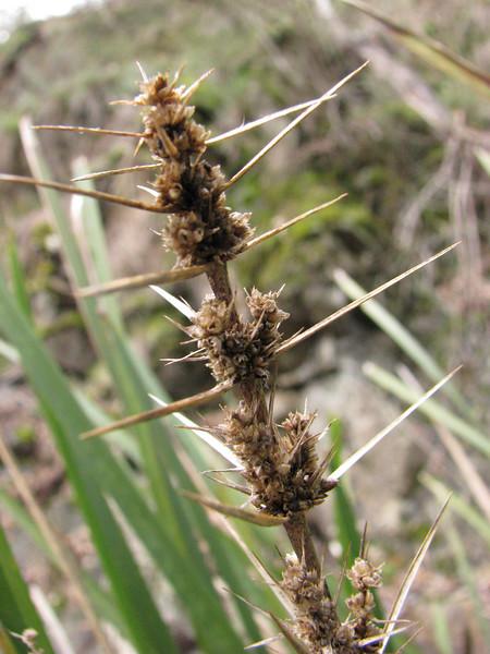 Lomandra longifolia / Spiny-headed mat-rush