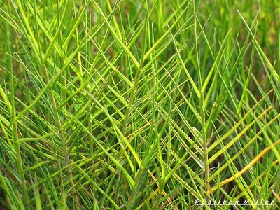 Distichlis distichophylla / Australian Salt-grass