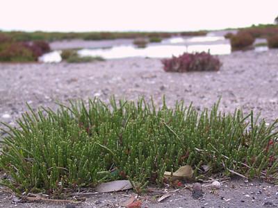 Sarcocornia quinqueflora ssp quinqueflora