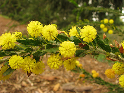 Acacia paradoxa - Flower and Leaf