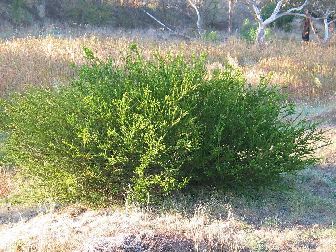Acacia paradoxa / Hedge Wattle / Kangaroo Thorn #+  Shrub (to 4m), flowering Aug to Nov
