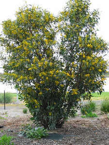 *Acacia saligna / Golden Wreath Wattle Large shrub (10m) from Western Australia which can become weedy.
