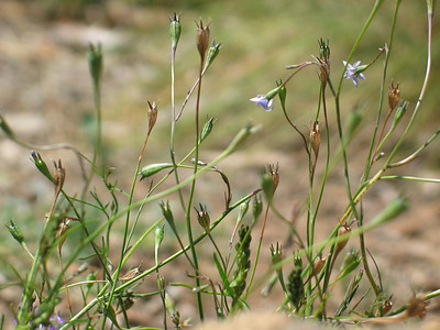 Wahlenbergia gracillis / Sprawling Bluebell