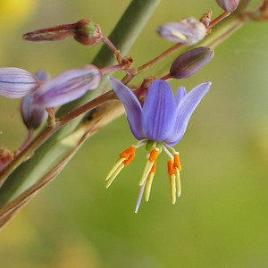 Dianella longifolia / Pale or Smooth Flax-lily