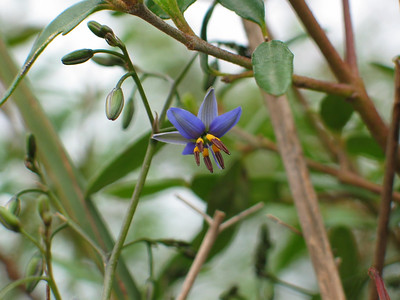 Dianella revoluta / Black-anther Flax-lily