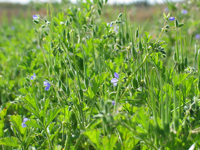 Erodium crinitum / Blue Heron's-bill