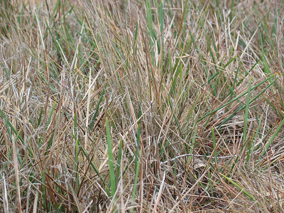 Dianella amoena / Matted Flax-lily (Photo taken in the City of Hume)