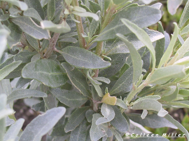 Atriplex cinerea / Coast Saltbush  Shrub (2m x 3m), flowering Sep to Mar.