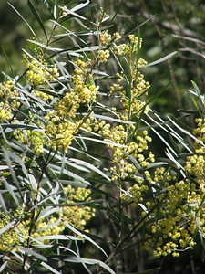Acacia retinoides / Wirilda   Erect or spreading small tree (3 to 10m), flowering Nov to Jan  Adaptable to saline and lime soils