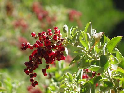 Rhagodia parabolica / Fragrant or Mealy Saltbush