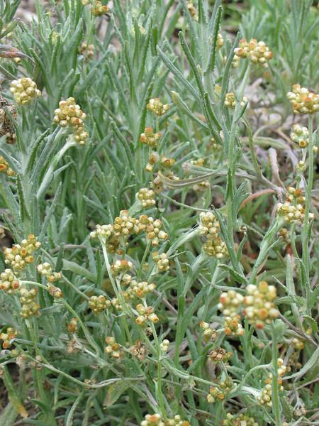 Helichrysum luteoalbum (Was Pseudognaphalium luteoalbum) / Jersey Cudweed