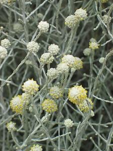 Leucophyta brownii / Cushion Bush