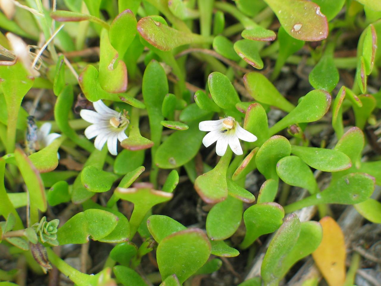Sellaria radicans / Shiny Swamp-mat