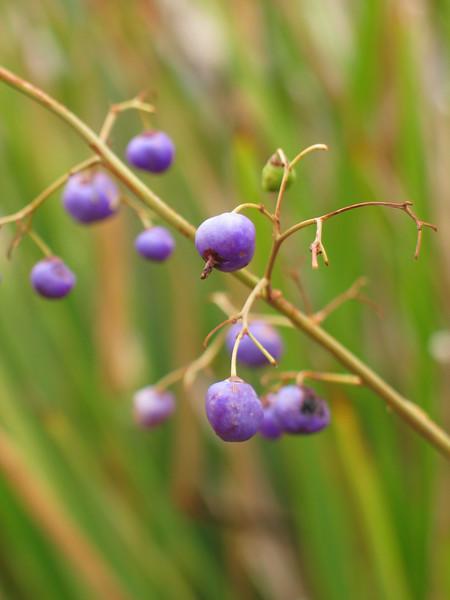 Dianella longifolia / Pale Flax-lily