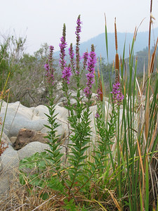 Lythrum salicaria / Purple Loosestrife
