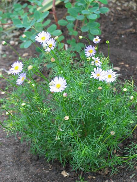 Brachyscome multifida var. multifida / Cut Leaf Daisy  Small spreading perennial herb (40cm)