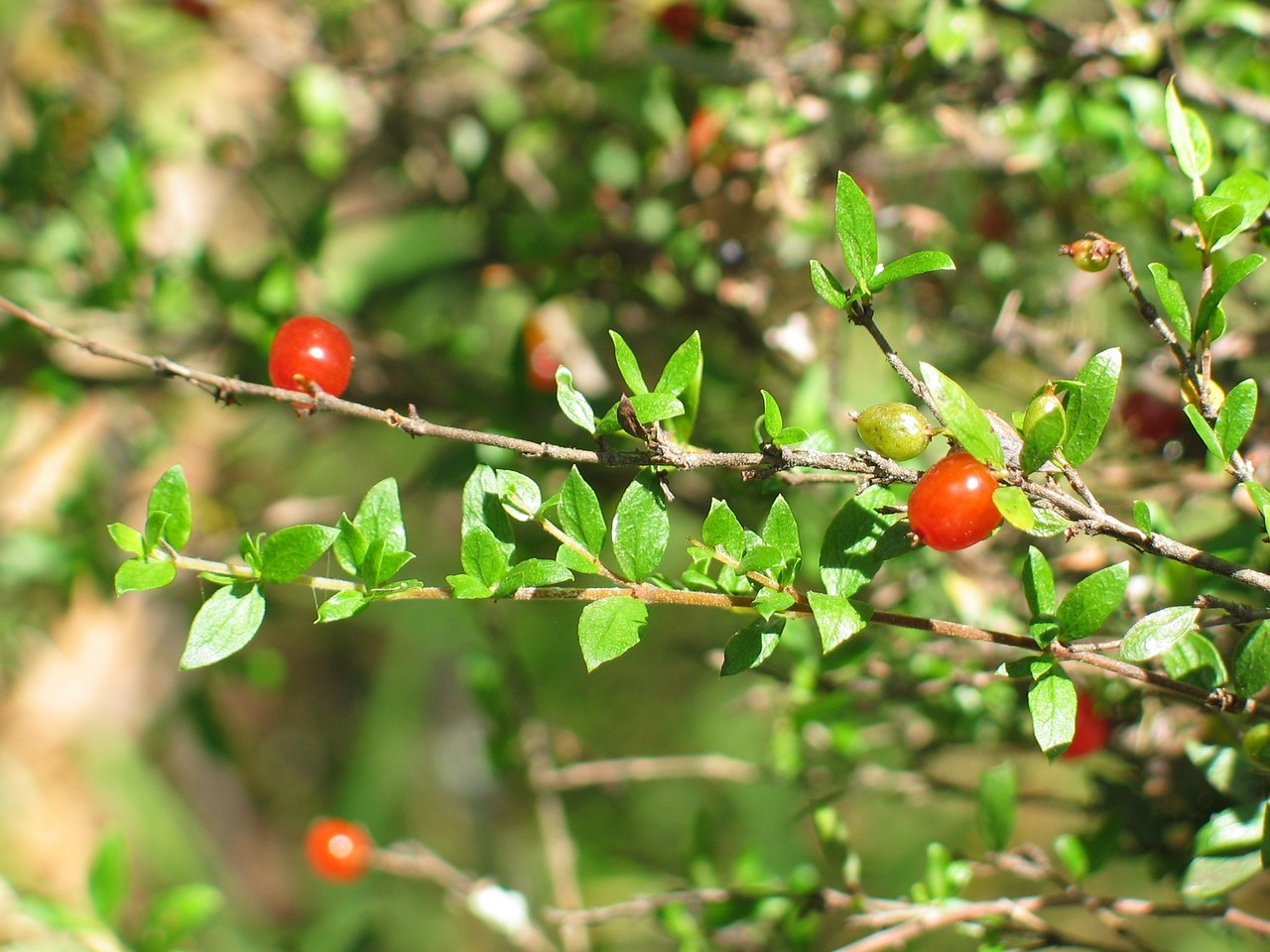 Coprosma quadrifida / Prickly Currant Bush