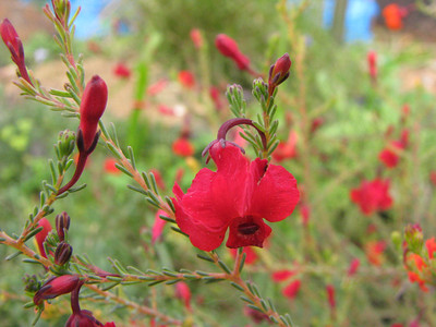 Lechenaultia formosa (WA)  Prostrate suckering shrub to 50cm from Western Australia, flowering in Winter and Spring.  It is doing well in Annies garden in Yarraville