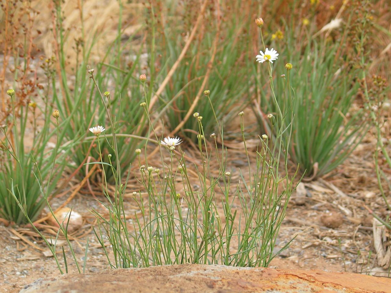 Brachyscome basaltica var. gracilis /Basalt Daisy / Swamp Daisy  Small perennial herb (60cm)