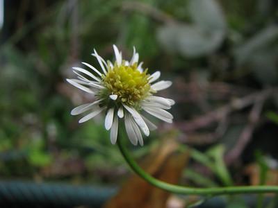 Calotis scapigera / Tufted Burr Daisy