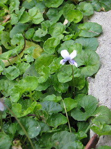 Viola hederaceae / Native Violet  Prostrate (15cm x 1-2m), flowering most of the year peaking  Jun to Mar. Prefers moist to wet soils.