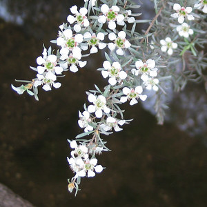 Leptospermum lanigerum / Woolly Tea-tree #