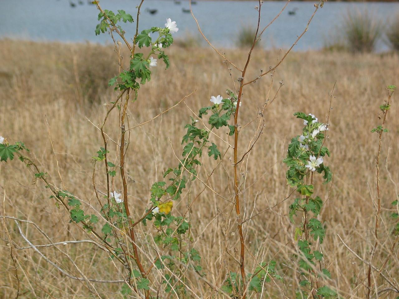 Lavatera plebia / Australian Hollyhock