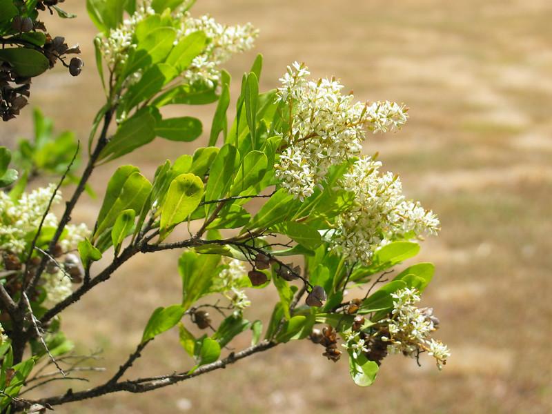 Bursaria spinosa / Sweet Bursaria  Shrub (to 6m) Flowering Dec to Mar