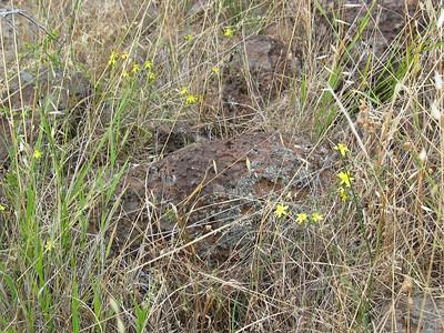 Tricoryne elatior / Yellow Rush-lily
