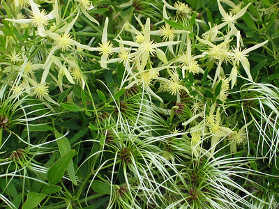 Clematis microphylla / Small-leaved Clematis