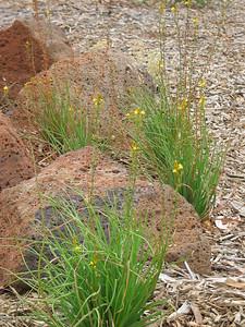 Bulbine bulbosa / Bulbine Lily / Wild Onion  Tufted perennial herb (60cm)