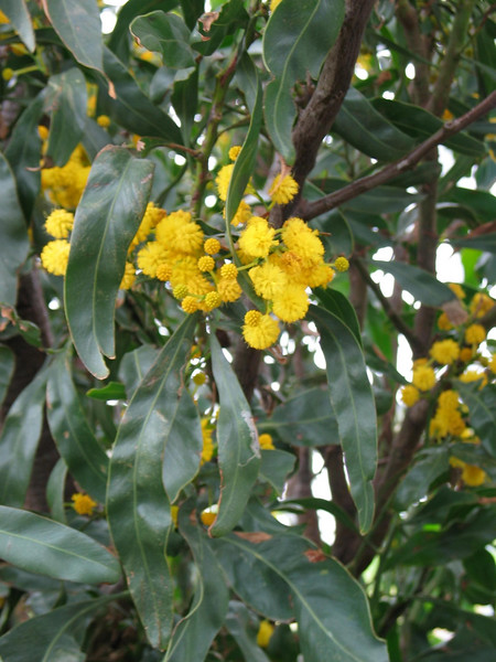 *Acacia saligna / Golden Wreath Wattle