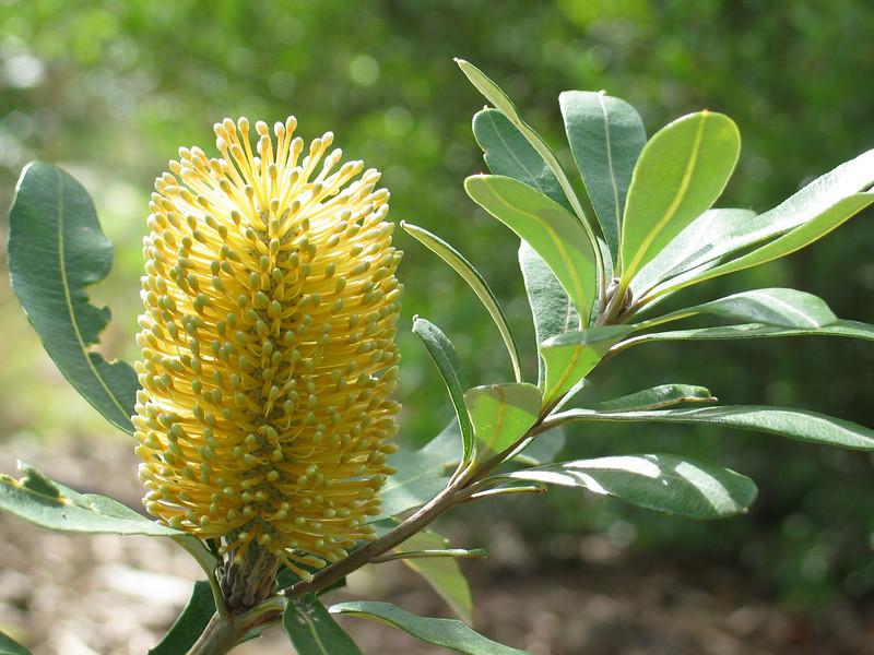 Banksia integrifolia / Coast Banksia  Flower 5 to 15cm Feb to Sep