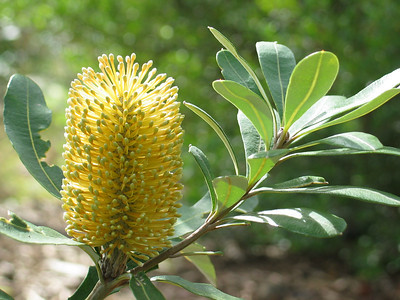 Banksia integrifolia / Coast Banksia  Flower 5 to 15cm Feb to Sep