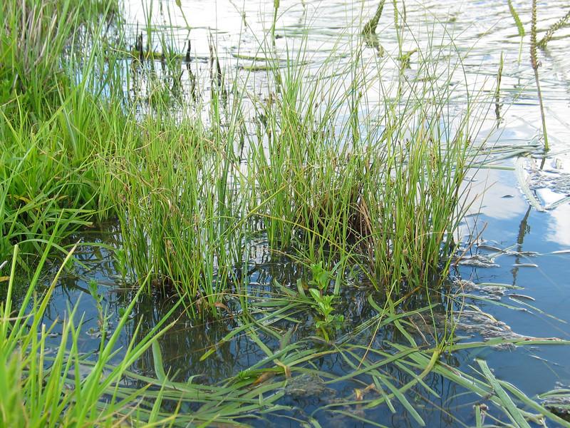 Carex bichenoviana / Sedge