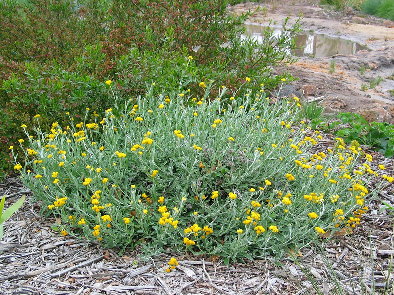 Chrysocephalum apiculatum / Common Everlasting