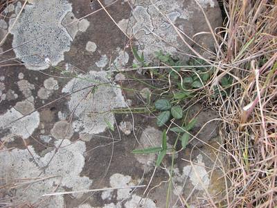 Desmodium varians / Slender Tick-trefoil