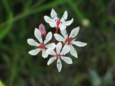 Burchardia umbellata / Milkmaids