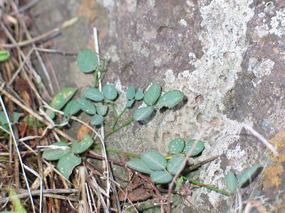 Desmodium gunnii / Slender Tick-trefoil