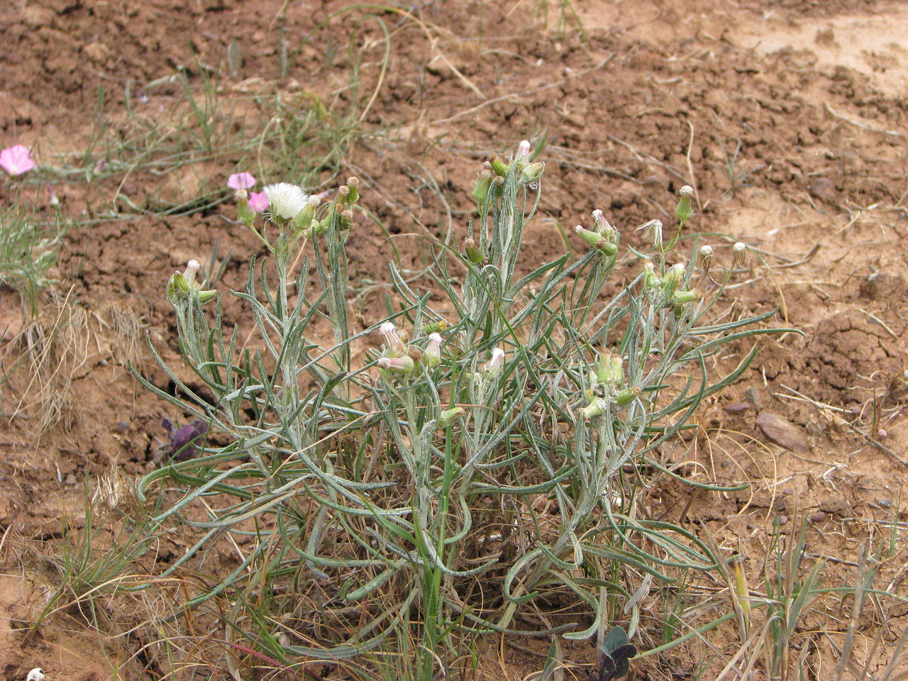 Senecio macrocarpus