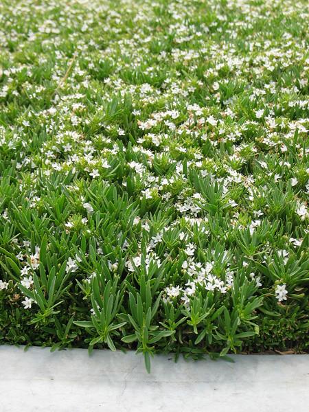 Myoporum parvifolium / Creeping Boobialla