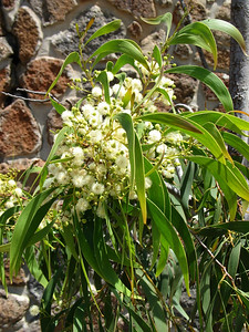 Acacia implexa / Lightwood #  Small tree (15m), flowering Dec to Mar